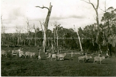 Sheep on a Group 88 farm
