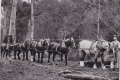 A team of horses bred in Karridale haul logs