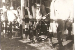Cows being milked by machine