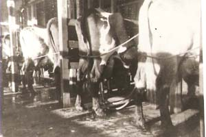 Cows being milked by machine in Kudardup in the 1950s